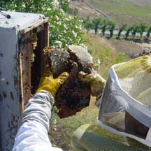 Bee Removal Eagles Nest