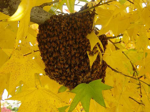 Tustin Bee Removal Guys Picture of a 