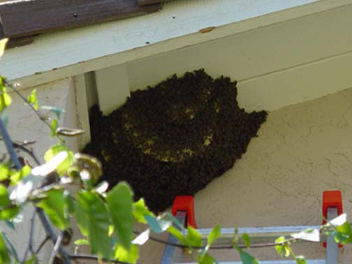 Bee Removal Tustin This is a 