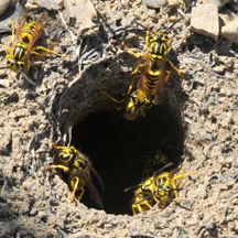 Yellow Jacket Removal Santa Ana CA
